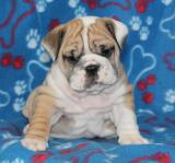 Brown and white english bulldog puppy