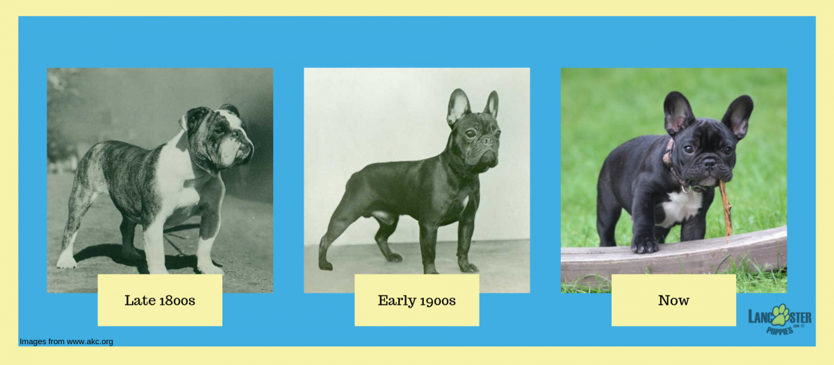 french bulldog appearance throughout history