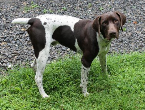 German Shorthaired Pointer Puppies For Sale In Pa Lancaster Puppies