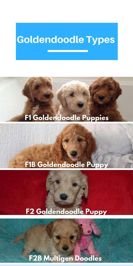 Goldendoodle types
