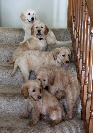 Labradoodle Puppies For Sale In Pa Lancaster Puppies