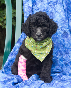 Standard Poodle puppies for sale in PA | Lancaster Puppies