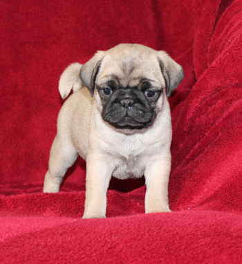 Pug Puppies For Sale In Pa Lancaster Puppies