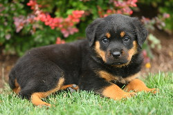 Rottweiler rescue lancaster pa