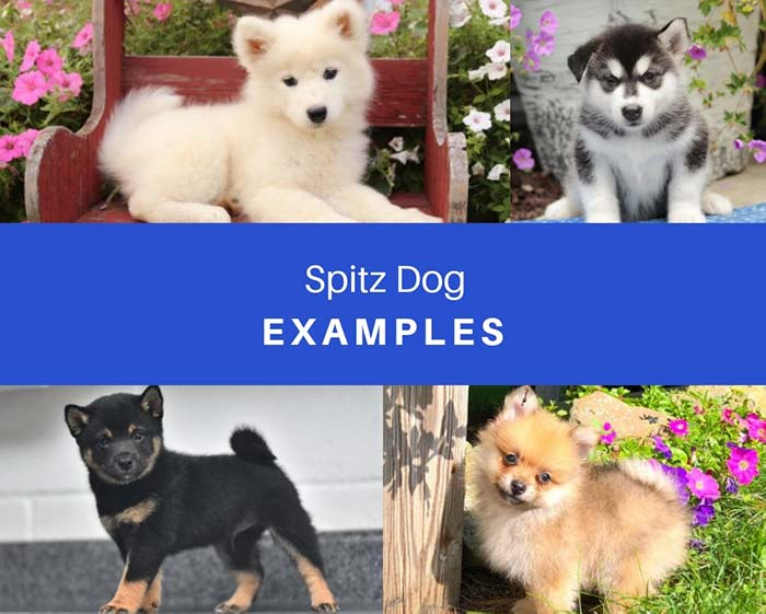 spitz type puppies